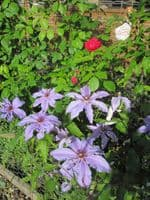 Clematis The First Lady